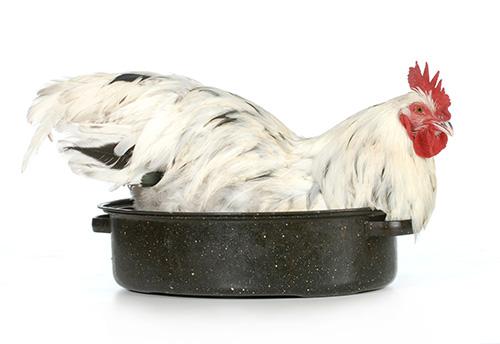 Koke høne